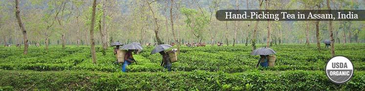 Black Tea Hand Harvested for Kai