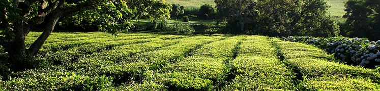 green-tea-fields-b2-kai.png