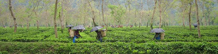 White Tea Hand Harvested for Kai